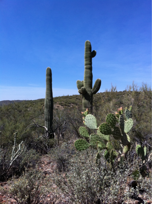 Cactii.png