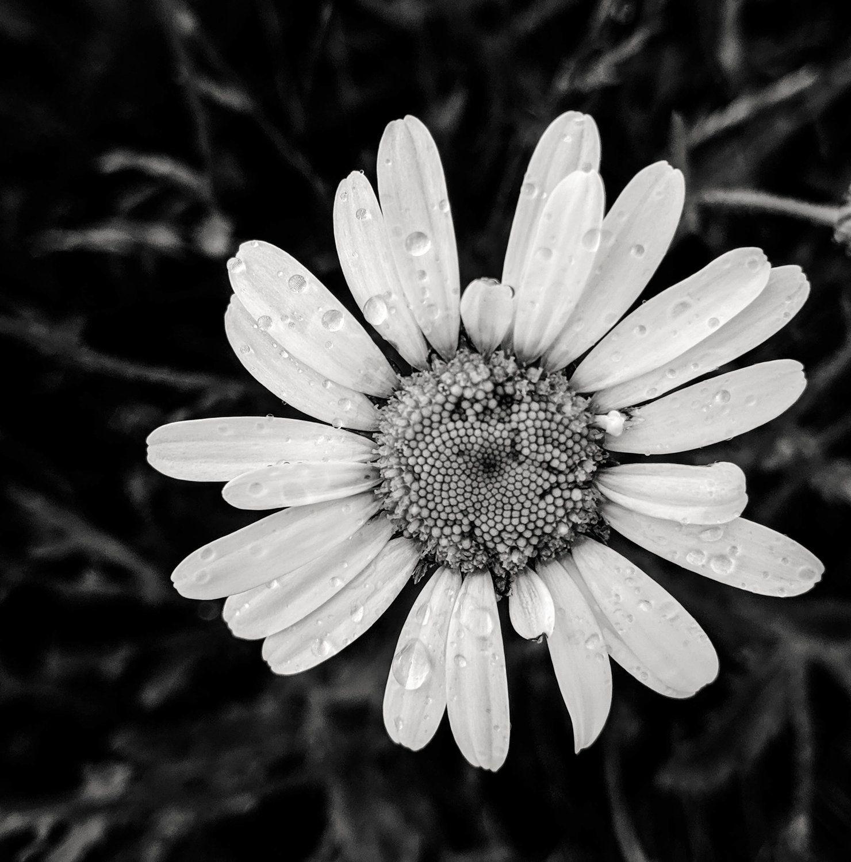 daisy3.jpg