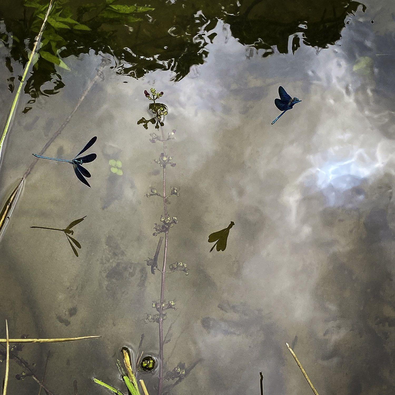 dragonflies.jpeg
