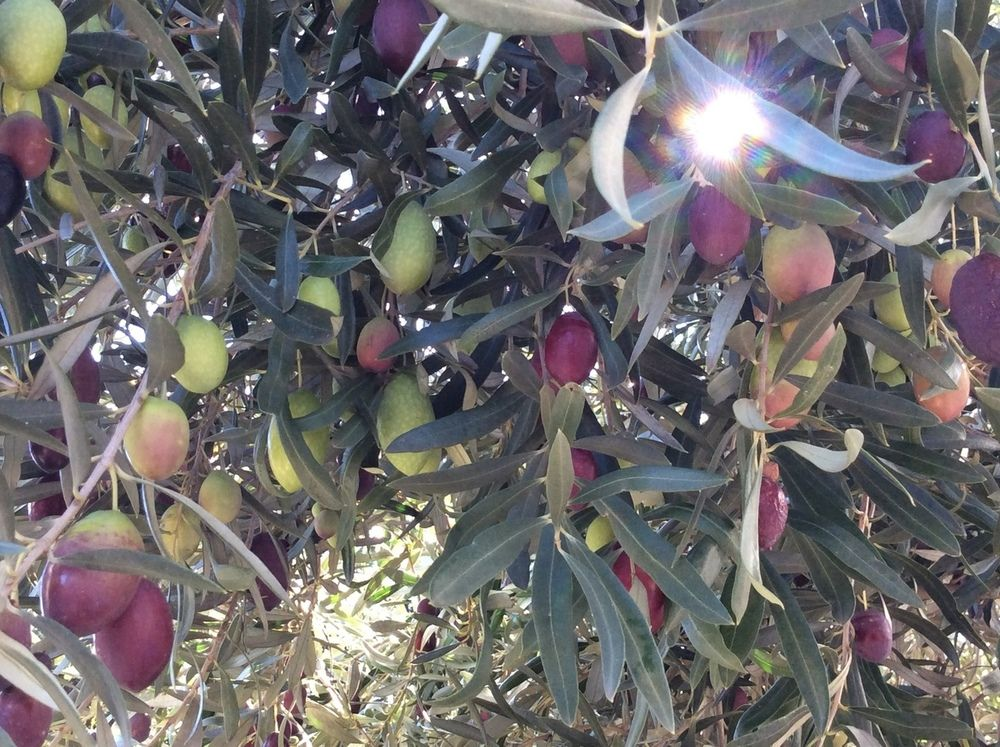 Neighbour's Olives.jpg