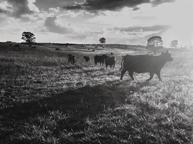 sunset cow.jpg